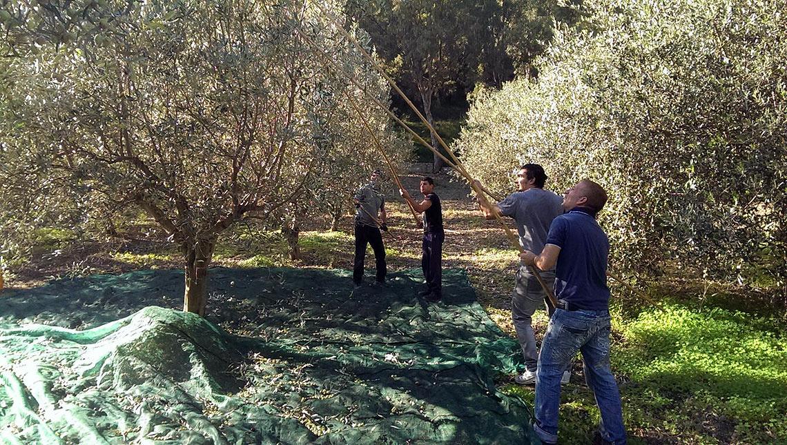 la raccolte di olive in calabria